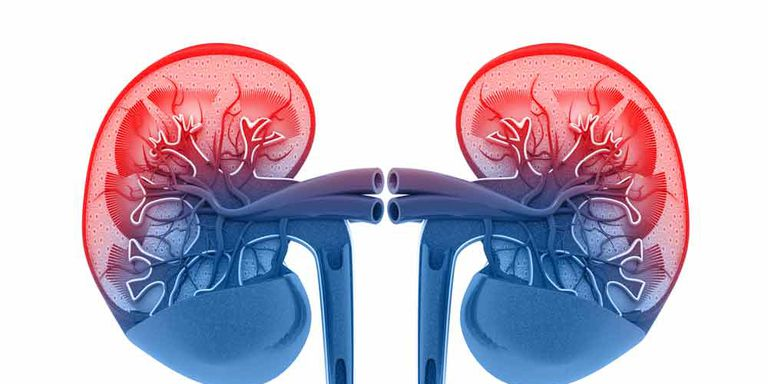 How Rapid Weight Loss Damage the Kidney